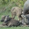 Buffalos napping