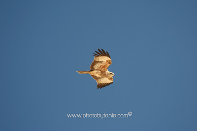 Brahminy Kite, Fraser Island, Queensland, Australia  See more photos in the archive