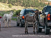 Wild Donkeys stop traffic in Custer State Park in South Dakota; best viewed in the largest sizes