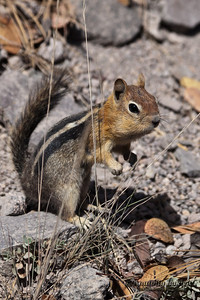 Golden-mantled ground squirrel (Callospermophilus lateralis). The golden-mantled ground squirrel is a type of ground squirrel found in mountainous areas of western North America. Золотистый суслик.