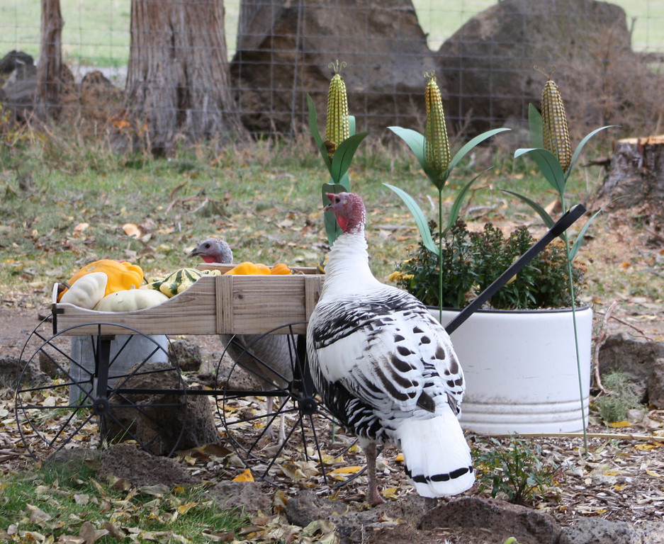 Turkey hens scoping out the decorations