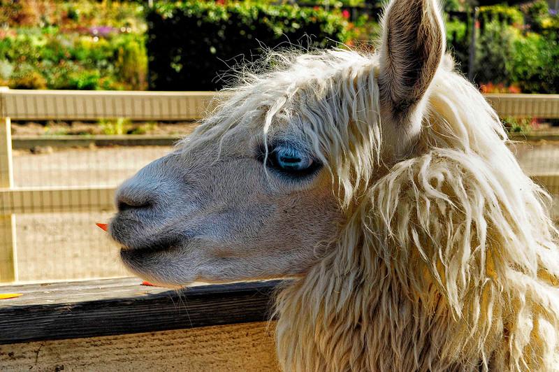 Llama Beatnik