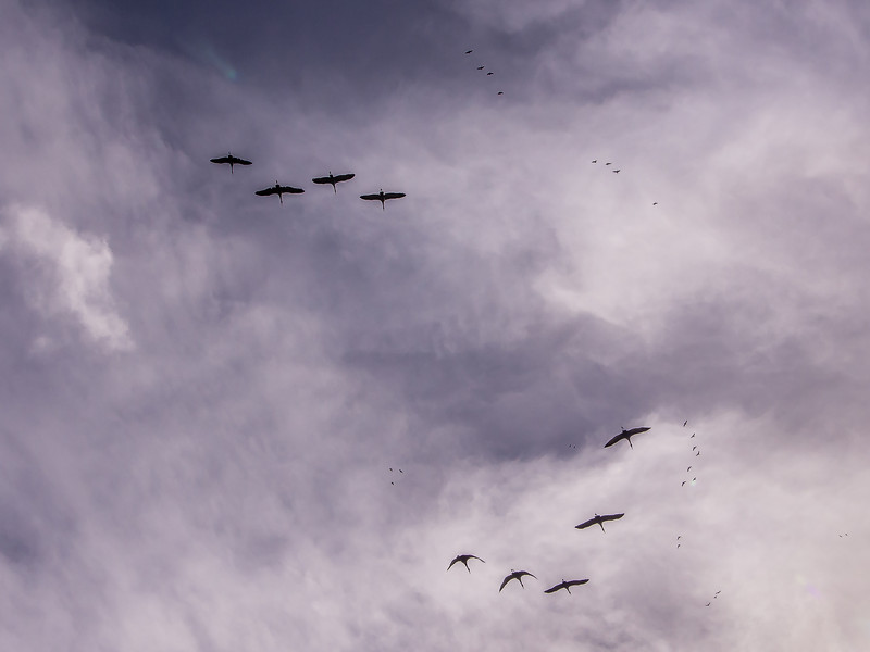 Sandhill Cranes and Black Birds Take Flight under Strom Clouds, Woodbridge Reserve, CA