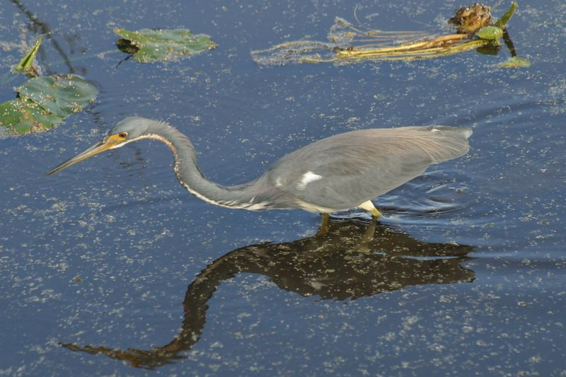 Another bird hunting for lunch in Wakodahachee Wetlands in Palm Beach.  I like the bird's mirror image reflecting on the water.
