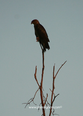 Black Kite searching for prey from above. Yellow Waters, Kakadu National Park, Northern Territory, Australia.  See more photos in the archive