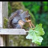 Douglas Squirrel—It's not always about peanuts!