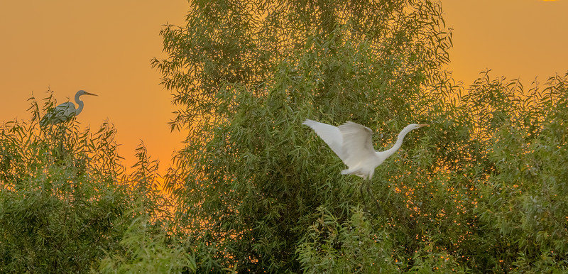 Heron at Rest and Egret in Flight