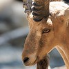 Nubian Ibex<br /> Scientific Name: Capra nubiana