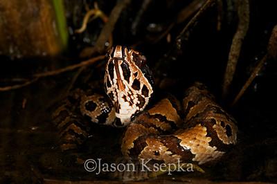 Agkistrodon piscivorus conanti, Florida Cottonmouth; Monroe County, Everglades National Park, Florida 2009-12-28 2