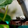Frog on Fig Tree