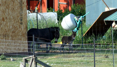 Velvet & her new baby.  He is only 1 day old. June 2009.