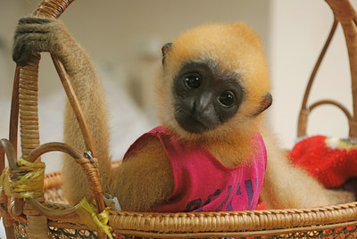 Daniel, a baby gibbon at Highland Park Gibbon Sanctuary in Thailand.