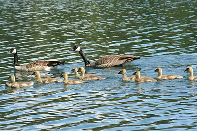 Family of Canadian Geese on Hayden Lake.