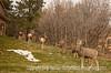 Deer in a Yard in Colorado Springs