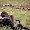 Lion digging into his kill