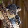 Koala<br /> Scientific Name: Phascolarctos cinereus