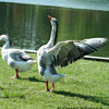 Geese<br />  © Pamela Stover<br />  Exposed Images Photography