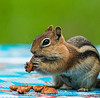 Chipmunk with a Pecan