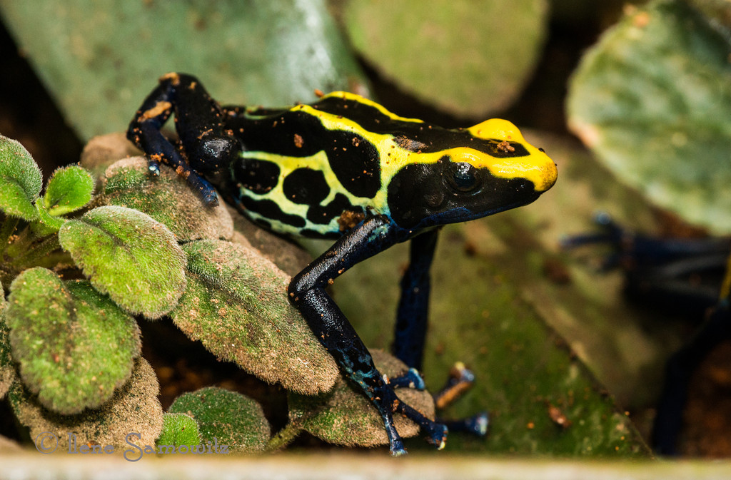 2-8-13 Poison Dart Frog - this was taken with my Nikon D800E at the University of Washington Greenhouse.  I am not sure what all the orange is on the frog...warts...food...skin disease...any thoughts appreciated.