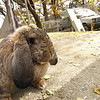 Conejo Belier francés