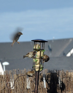Sparrow landing on bird feeder
