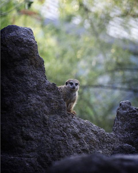 Peekaboo Meerkat