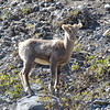 Bighorn lamb alongside the road, Icefields Parkway, Banff National Park