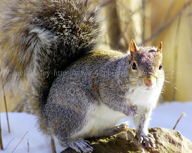 jhsquirrel - A squirrel in Mendon sits on top of a rock and suns itself friday afternoon.