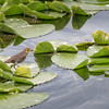 Bird on Lily Pad