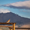 Hawk Resting on Maddalena Ranch Fence
