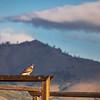 Hawk Resting on Maddalena Ranch Fence