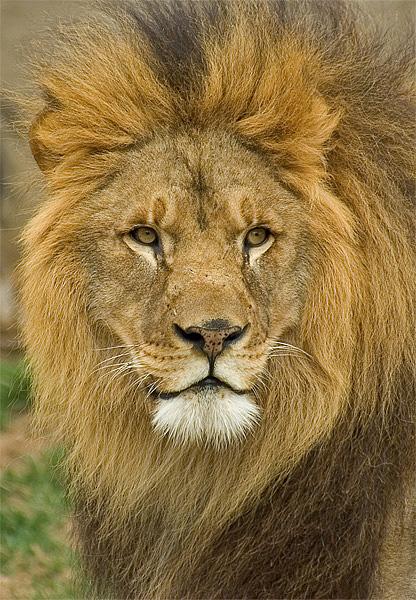 Lion, Tulsa Zoo