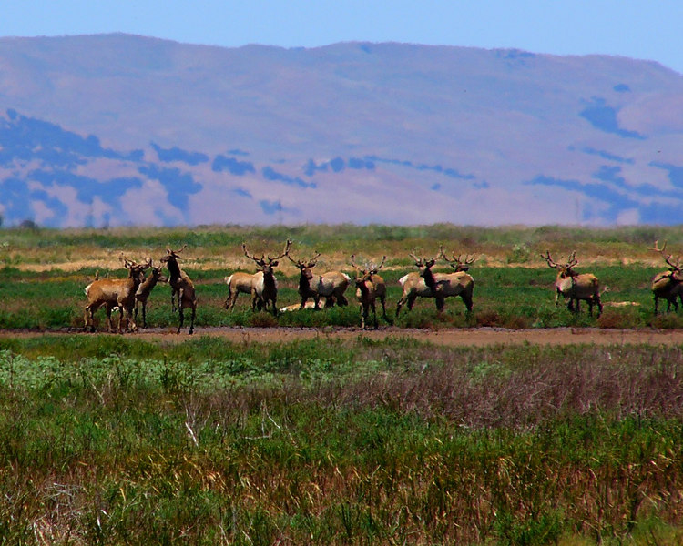 HERD OF ELK IN SUISUN.  Notice the males challenging each other.
