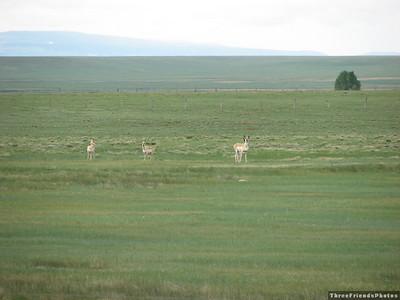 Antelope in Wyoming