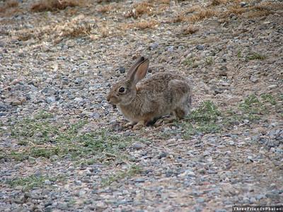 August - Rabbit in camp ground - Cortez, CO