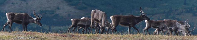 Caribou in western Alaska