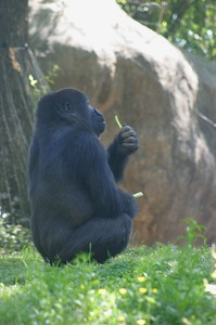 If I didn't know better, I would swear that this silverback Gorilla at Zoo Atlanta was eating a french fry!