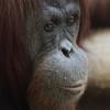 Orangutan, CO