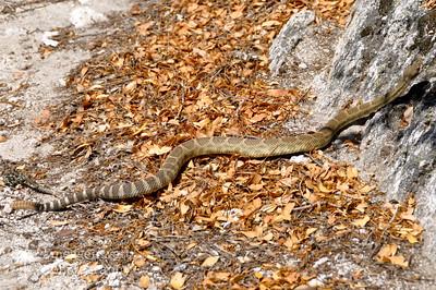 Rattlesnake, Northern California