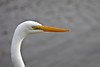 Egret Head and Neck Shot