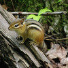 Chipmunk at Ransom Lake Natural Area-Lake Ann, Michigan