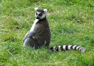 Brown lemur staring