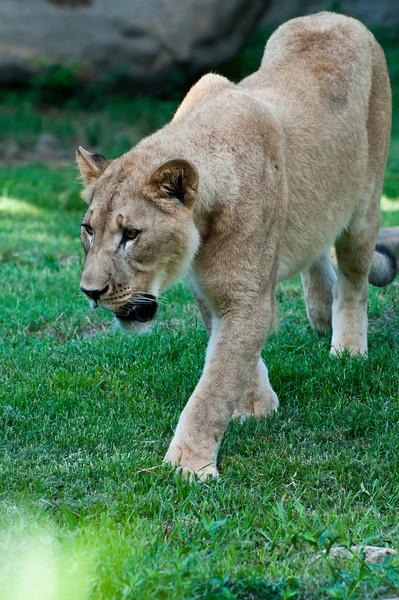 Lioness and Grass