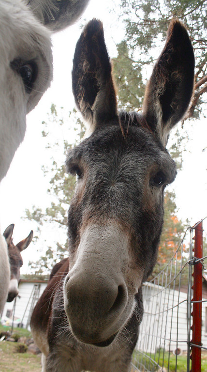 Donkeys are the class clowns of the Equine species. They usually love cameras!