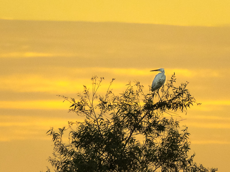 Egret Resting in Tree Top at Sunrise