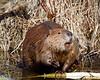Beaver<br /> Elk Island National Park, Alberta