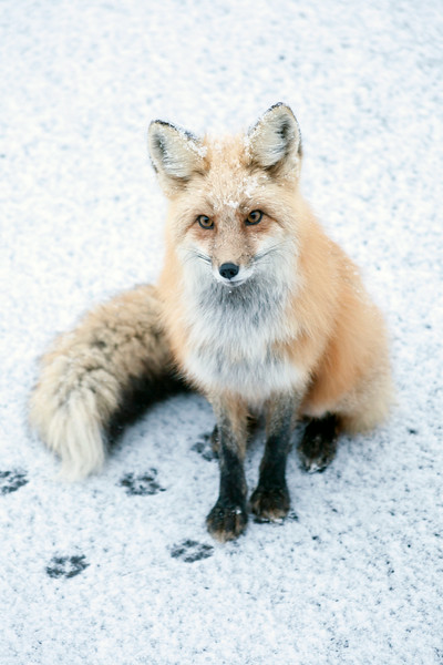 Red Fox - Breckenridge, CO