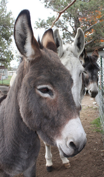 Three donkeys, Jerusalem (gray with a black strip down it's back and across it's shoulders), Spotted, and Catalan hybrid.