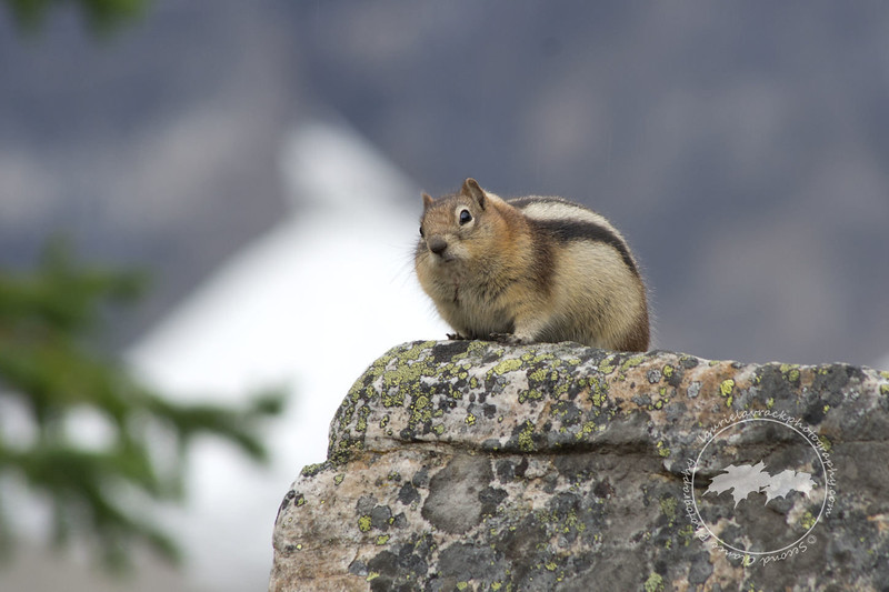 Ground squirrel on rockpile at Moraine Lake, Banff National Park