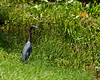 Heron in the Grass